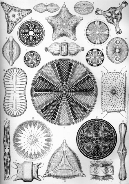 Haeckel_Diatomea_4 (1)