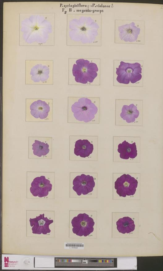 naturalis_biodiversity_center_-_l-0939628_-_petunia_nyctaginiflora_-_artwork